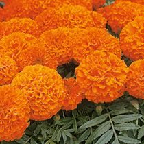 Marigold - African Space Hopper Seeds: A well tried and tested marigold producing vigorous plants with compact foliage that does not compete with the masses of very large, bright orange flowers. Unusual Flowers, Edible Flowers, All Flowers, Growing Flowers, Large Flowers, Growing Plants, Sutton Seeds, Dwarf Plants, Garden Borders