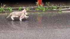 """2 16 15 .. Mother Cat Carry A Kitten On Rainy Day ? - http://dailyfunnypets.com/videos/cats/2-16-15-mother-cat-carry-a-kitten-on-rainy-day-%e2%9c%94/ - 2 16 15 .. Mother Cat Carry A Kitten On Rainy Day ??""""Cat (Animal),Kitten (Animal),Animal (Film Character),Kitty,Cats,Cute,Kittens,Rain,Day,Funny,Mother Cat,Carry,Rainy Day,Japan (Country),Tokyo (Japanese Prefecture),Nice,Good,Cool,Zoo,Fun,Love,Like... - ?, carry, cat, day, kitten, mother, rainy"""