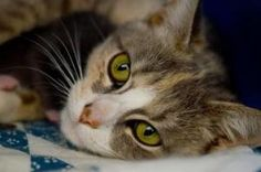 Florence is an adoptable Domestic Short Hair Cat in Baltimore, MD.  Sweet Florence came into the shelter with a litter of kittens, who have all been adopted. She was a wonderful mommy, and is currentl...