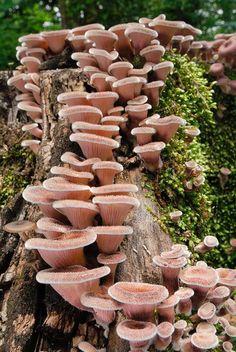 Ruddy Panus Mushroom (Panus Rudis)