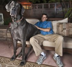 This big beast is 7 feet, 3 inches long, 43 inches tall at the shoulder, and weighs an impressive 245 pounds!  Every month, owners David and Christine Nasser feed George 110 pounds of dog food, and he sleeps in his very own Queen-sized bed. OMG - absolutely wild!