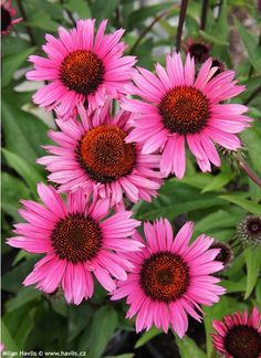 Coneflower 'Fatal Attraction' Echinacea purpurea From: Note susie: Fatal Attraction Variety Exotic Flowers, Amazing Flowers, Colorful Flowers, Pink Flowers, Beautiful Flowers, Sunflowers And Daisies, Wildflower Seeds, Cactus Y Suculentas, Belleza Natural