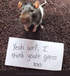 pet rat's reply to being called gross. A pet rat's reply to being called gross.) Ratties are smart and wonderful creatures!A pet rat's reply to being called gross.) Ratties are smart and wonderful creatures! Baby Animals, Funny Animals, Cute Animals, Animal Pictures, Funny Pictures, Funny Images, Funny Pics, Cute Rats, Axolotl