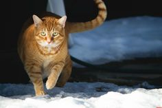 Skittles braving the snow for the first time. - http://cutecatshq.com/cats/skittles-braving-the-snow-for-the-first-time/
