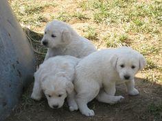 Akbash Maremma Dog / Turkish Shepherd / Akbaş Çoban Köpeği / Akbas Coban Kopegi