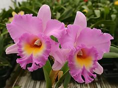Rlc. Mahina Yahiro 'Mishima' AM/AOS. - Odom's Orchids, Inc.
