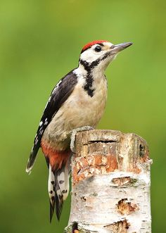 Great Spotted Woodpecker | Flickr - Photo Sharing!