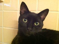 """From Niko Campbell... """"This is Titty tat, the oldest of my 3 black cats. He's the lovable one. Our big baby!""""  For the month of October, Cat Faeries is celebrating black cats. We will post pictures of our customer's cuties and donate 1% of our October sales to several black cat rescue groups. You can find out more at www.catfaeries.com/blog/celebrating-black-cats-in-october/"""