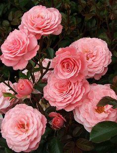 Floribunda Rose 'Sexy Rexy' Bred by Samuel Darragh McGredy IV (New Zealand,1984)