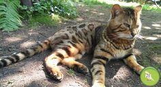 Arriva in Italia il Gatto Leopardo, ed è subito mania