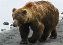 Wild Bears Pictures - - Yahoo Image Search Results
