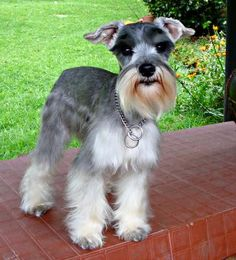 My precious little boy: Jumbo (Jumbito), the most precious gift I ever had, a little angel disguised in a cute Schnauzer costume. He and his beautiful sister Sasha (a queen, super