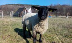 My sheep loves my phone  poses wonderfully