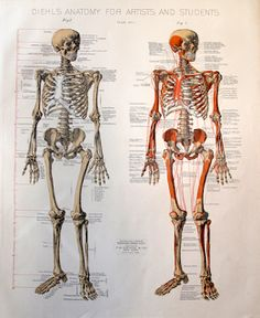 Figure Drawing: Diehl's Anatomy for Artists and Students