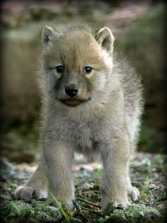 WOLF PUP  STOP KILLING  WOLVES !