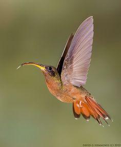 Rufous Breasted Humminbird 5
