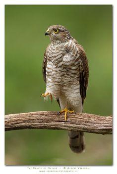 Sparrowhawk (Accipiter nisus) Europe, Asia