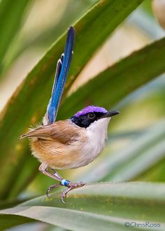 fairy wren | The gorgeous Purple-crowned Fairywren (Malurus coronatus) (33 Pics)