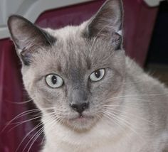 Chocolate is an adoptable Siamese Cat in San Diego, CA. Wonderful! Sweet, affectionate, outgoing. Has always lived in a house full of cats. Dog- and kid-friendly, too!.Limited time only, Black Cat Spe...