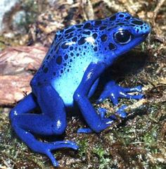 pictures of frogs and toads | Poison-arrow frogs and toads