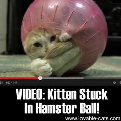 Lovable Cats VIDEO: Kitten Stuck In Hamster Ball! - Lovable Cats Funny Dogs, Funny Animals, Cute Animals, Baby Animals, Cat Toilet Training, Cool Cat Trees, Curiosity Killed The Cat, Matou, Cat Gif