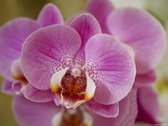 Buy Plants, Indoor Plants, Phalaenopsis Orchid, Orchids, Flower Petals, Pink Flowers, Plant Breeding, Wild Orchid, Garden Show