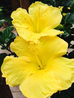 Lemon Yellow Hibiscus Tree