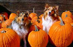 Shelties with pumpkins image via www.Facebook.com/PositivityToolbox