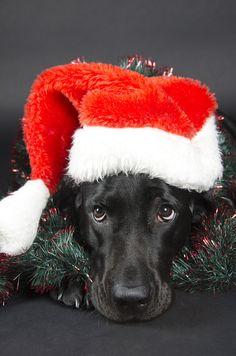 Black labrador - stock photo