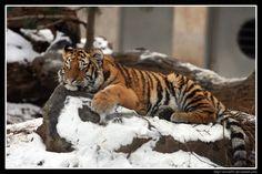 Tiger cub - Sleepy by Arwen91