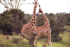 Dzisiaj trochę zaspaliśmy ale już nadrabiamy stracony czas! Zapraszamy Was dzisiaj do Kenii. Ostatnio bardzo popularna wśród  naszych myśliwych :) Oczywiście w programie safari w parku narodowym. To co tygryski lubią najbardziej :) Sprawdźcie wybranych parę  ofert. http://www.nevadatravel.pl/?ep3[]=%3Fsid%3Dh4c6g7ck1v3elkeosr4figah3ua5mgr7%26lang%3Dpl%26drf%3D4%26drt%3D12%26sd%3D09.03.2014%26ed%3D05.04.2014%26tt%3DF%26sp%3D3%26st%3DPA&ep3[]=ds%3D19%253A