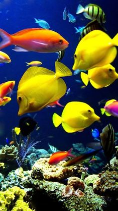 The vibrant yellow fish, loved the silhouette. vibrant, exotic A Tropical fish ecosytem.I love tropical fish because I love the many colors of fish there are. Life Under The Sea, Under The Ocean, Sea And Ocean, Fish Ocean, Fish Fish, Betta Fish, Tang Fish, Underwater Creatures, Underwater Life
