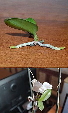 Размножение орхидеи фаленопсис детками | Flora In Home