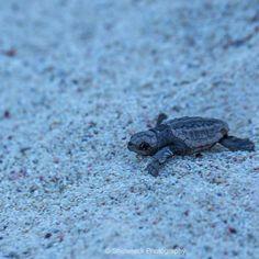 Good Night Baby Loggerhead Turtle @ Great Barrier Reef - Qld  #seeaustralia #thisisqueensland #greatbarrierreef #turtle by shipwreckphotography http://ift.tt/1UokkV2