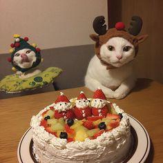 Merry Christmas✨✨② ハッチャン!マジメにして〜!w 生クリームが足りんくて、所々スポンジ透けとるガッサガサの雑w #八おこめズラ #クリスマス #クリスマスケーキ #八おこめ #ねこ部 #cat #ねこ #八おこめ食べ物 #クリスマス猫パーチー