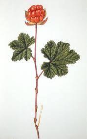 Image result for cloudberry drawing Illustration Blume, Botanical Illustration, Love Tattoos, Tatoos, Art Studies, Botanical Art, Colored Pencils, Watercolor Paintings, Print Patterns