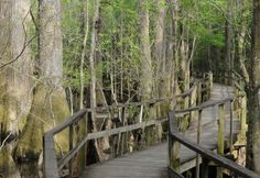Harleyville, SC - Audubon Center at Beidler Forest.  Contains the largest stand of virgin bald cypress and tupelo gum swamp forest left in the world.  1,000-year old trees, native wildlife abound in this untouched sanctuary.  1.75-mile boardwalk allows the chance to venture deep into the heart of the swamp.