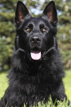 Wicked Training Your German Shepherd Dog Ideas. Mind Blowing Training Your German Shepherd Dog Ideas. Black German Shepherd Puppies, Black Shepherd, Black German Shepherd Dog, German Shepherds, King Shepherd, Pit Bull, Big Dogs, I Love Dogs, Dogs And Puppies
