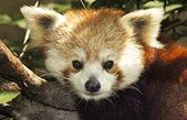 I saw the Red Panda at The Central Park Zoo..he was sleeping but soo cute.