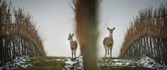 P2016-1-16 - Parting Shot - Herd it through the grapevines | The Spokesman-Review