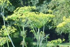 Dill Growing and Harvest Information