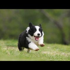 Border Collie  #adorablepuppy  #bordercollie  #iwantone  #border #collie #pic