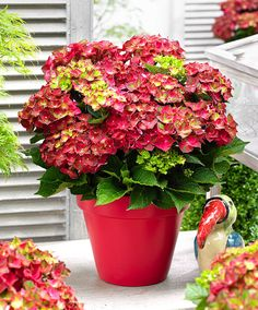 Hortensia Magical® 'Ruby Tuesday'