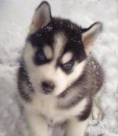 chien husky   Photo de Zia, chien Husky sibérien