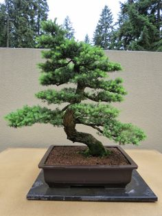 The Practical Plant Geek: Pacific Rim Bonsai Collection- This mountain hemlock was collected in 1986 from the Mt. St. Helens area