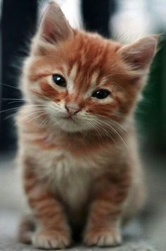 I love orange cats! Cute Cats And Kittens, I Love Cats, Crazy Cats, Kittens Cutest, Pretty Cats, Beautiful Cats, Animals Beautiful, Cute Baby Animals, Animals And Pets