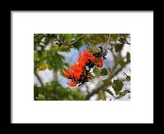 flame of the forest, orange, flower, bloom, blossom, nature, garden, michiale, schneider, photography