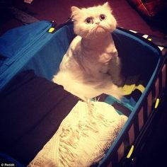 This cat's sad face brings a whole new meaning to the term 'emotional baggage'...