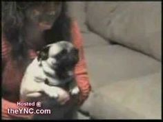 very excited pug - YouTube