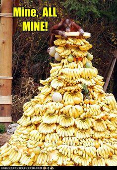 "Everland Monkey Valley ""Orangutan"" on a mountain of bananas Animal Captions, Funny Animal Memes, Funny Animal Videos, Funny Animal Pictures, Funny Animals, Cute Animals, Animal Humor, Wild Animals, Monkeys Animals"